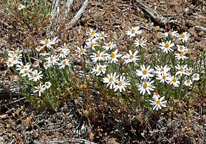 Chaetopappa ericoides in Kyle Canyon, Spring M...