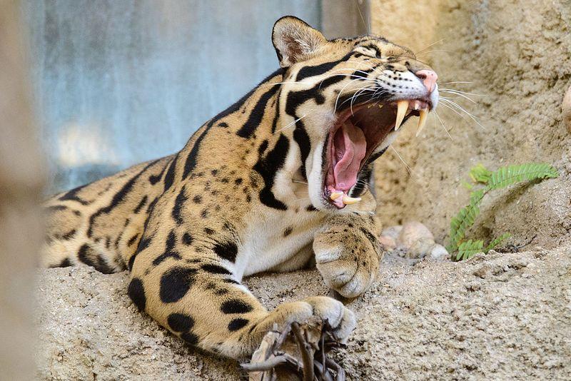 File:Clouded Leopard Mouth Open.jpg