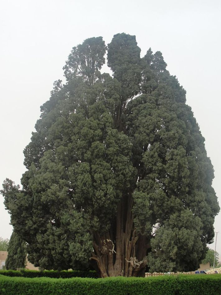 Cypress of Abarqu