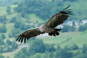 Griffon Vulture Gyps fulvus in France (Pyrénée...
