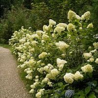 The Green Flowers of the Limelight Hydrangea