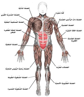 عضلة ويكيبيديا