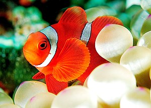 This is another kind of anemonefish. A little ...