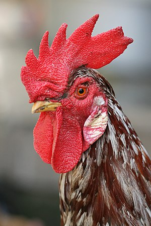 An adult male chicken, the rooster has a promi...