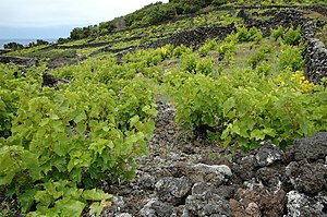 A vineyard on Pico