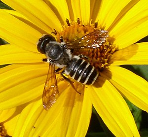 Megachile on sunflower