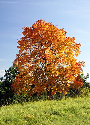 Acer platanoides in autumn colors.