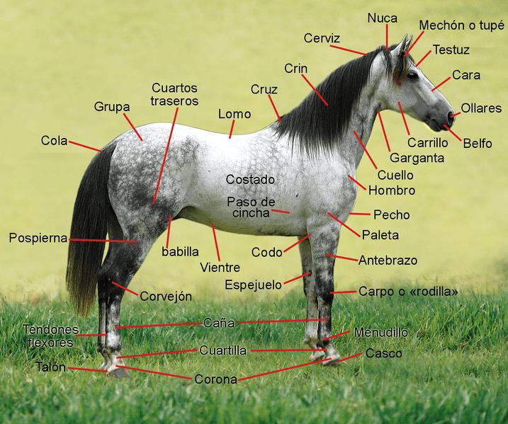 Anatomía   Caballos y Equitación