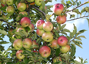 English: Apples on an apple-tree. Ukraine. Рус...