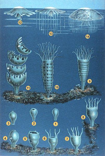 File:Schleiden-meduse-2.jpg