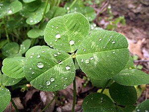 English: The Leaf of a trifolium repens plant ...