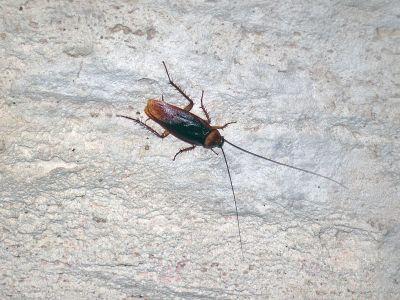 File:Altar Cave - American cockroach on wall (San Salvador ...
