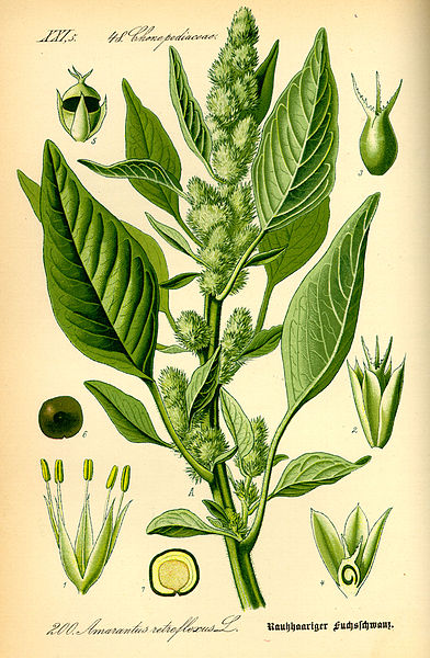 File:Illustration Amaranthus retroflexus0.jpg