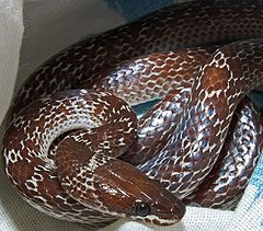 Ular cecak, Lycodon capucinus dari Darmaga, Bogor