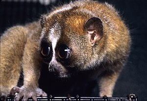 A close up side view of a (Nycticebus pygmaeus...
