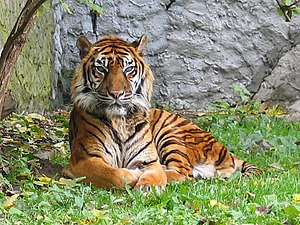 Panthera tigris sumatran subspecies.