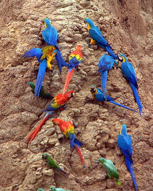 English: Blue-and-yellow Macaws, Scarlet Macaw...