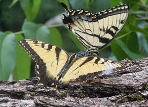English: Pair of Eastern Tiger Swallowtails (P...