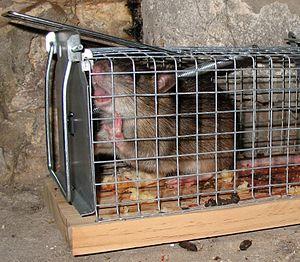 Deutsch: In einer Lebendfalle gefangene Ratte ...