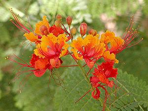 English: Caesalpinia pulcherrima at the Desert...