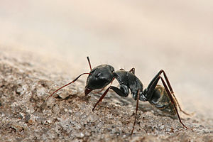 English: Camponotus sp. ant, roughly 9mm long,...