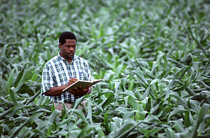 An agricultural scientist records corn (maize)...
