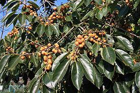 Почему падают незрелые плоды хурмы. Почему не плодоносит хурма