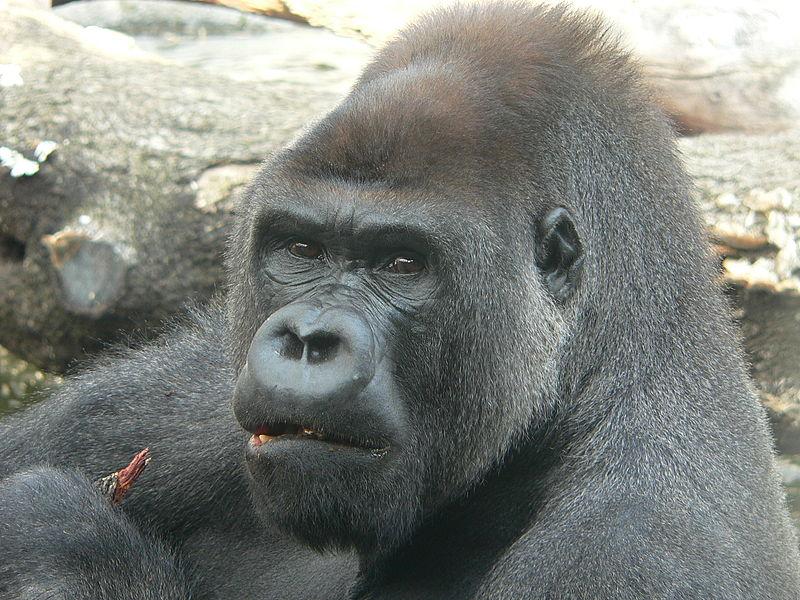 Ficheiro:Gorila.JPG