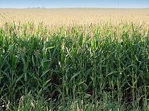 Corn growing, Minnesota, USA