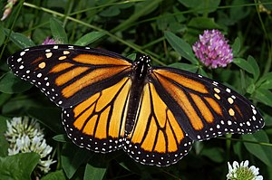 English: Photograph of a Monarch Butterfly.