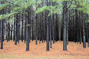 Pinus taeda plantation, USA