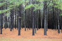 English: Pinus taeda plantation, USA