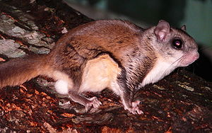 A Southern flying squirrel (Glaucomys volans) ...
