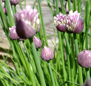 English: Chives: (chives, allium, purple, gree...