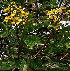 Bunga dan daun-daun johar, Senna siameaDarmaga, Bogor
