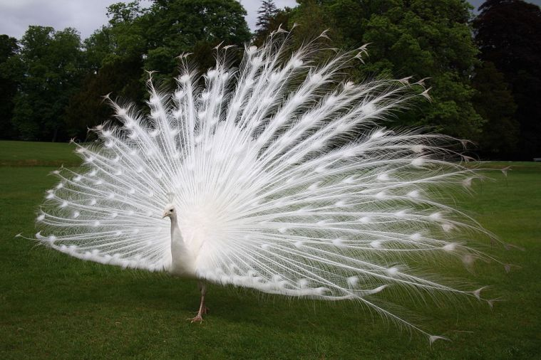 Image result for white peacock