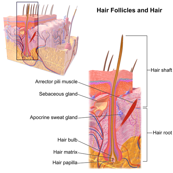 File:Blausen 0438 HairFollicleAnatomy 02.png