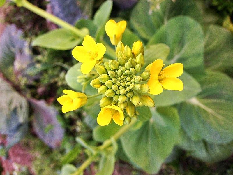 File:Canola Flower.jpg