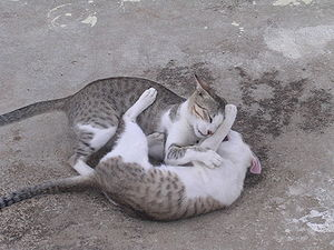 English: Cat Play-fight