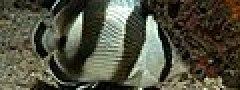 Chaetodon striatus Brasil.jpg