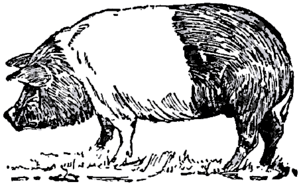 Drawing of a Hampshire hog