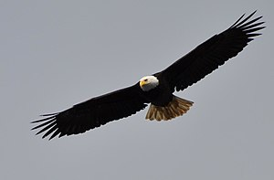 A Bald Eagle flying in Alaska, USA.