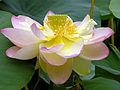 Lotus Nelumbo nucifera Flower Large 3264px.jpg