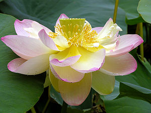 Nelumbo nucifera, commonly known as the Lotus.