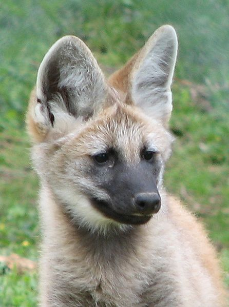 File:Maned Wolf Pup Image 001.jpg