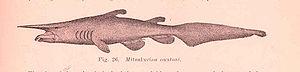 An early illustration of a goblin shark