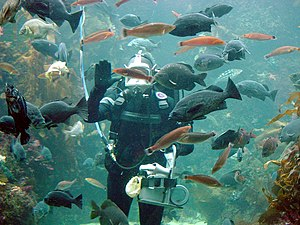 Surface supplied diver at the Monterey Bay Aqu...