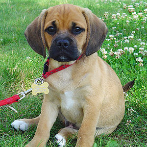 English: A puggle in Scotrun, PA