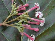 Cinchona pubescens - bunga