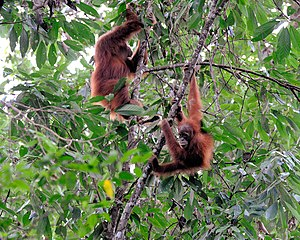 wild orang utans, Gunung Leuser NP, Sumatra